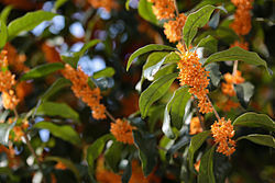 Osmanthus_fragrans.jpg